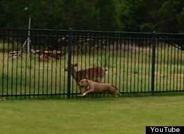 A Pit Bull And A Deer Are Best Buds, And They Play Their Own Special Game Together