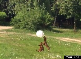 These Two Dogs Are Endlessly Entertained By A Balloon. Oh To Be So Carefree