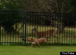 WATCH: Dog And Deer Play Chase With Each Other Through Fence