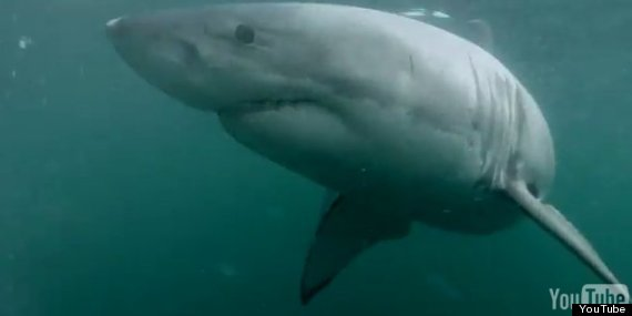 great white shark in sydney harbour