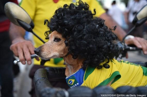 perro peluca brasil