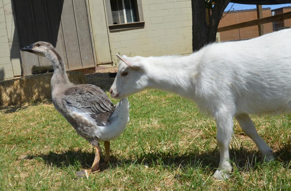 ryan gosling goose