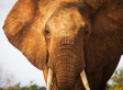 Slaughter Of Elephants By Poachers Is 'Unprecedented' As 68 Die In DRC Park