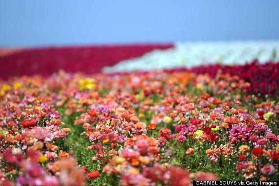 flower fields carlsbad ranch