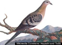 여행비둘기의 멸종이 인간만의 탓은 아니다