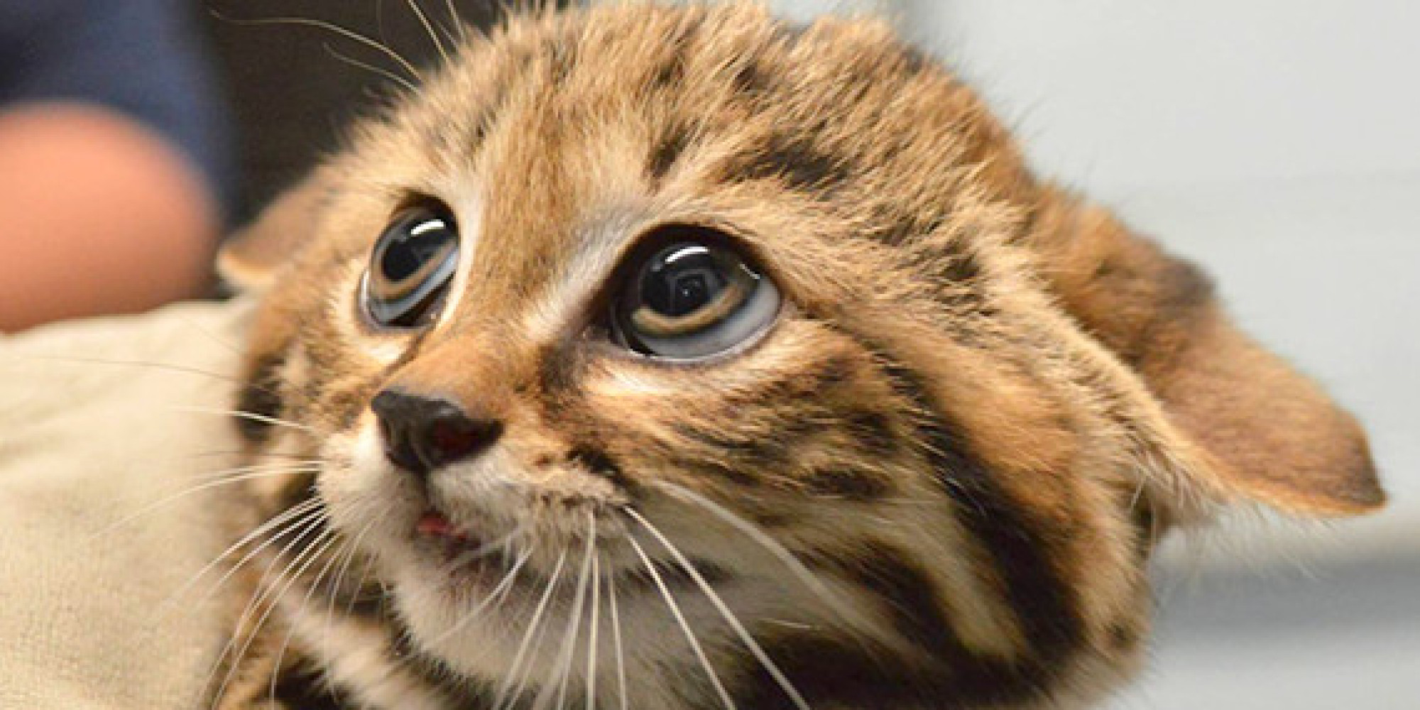 Black-Footed Cat Kittens Cats