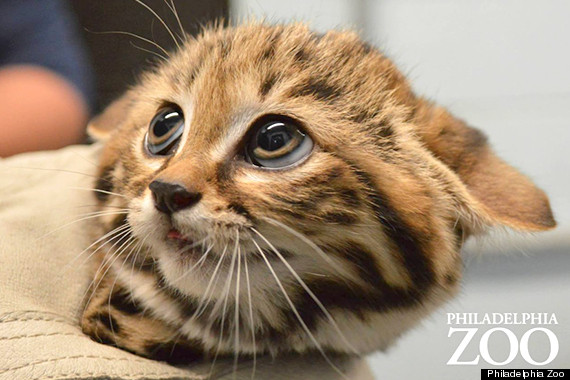 black footed cat kittens