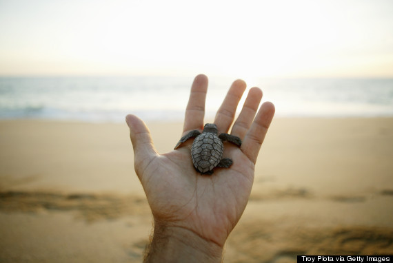 12 Sea Turtle Facts That Prove How Cool They Are | HuffPost