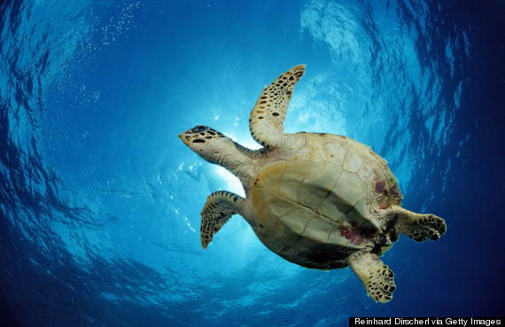 male sea turtle
