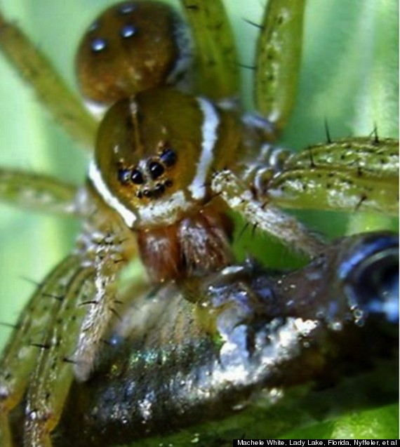 fish eating spiders
