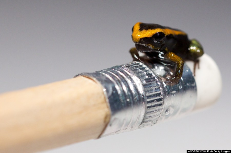 a baby poison dart frog