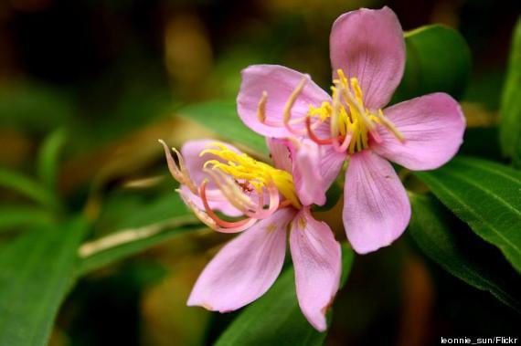 island flower