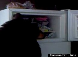 WATCH: Peckish Bear Rummages Through Freezer