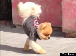 WATCH: Nothing To See Here. Just A Pomeranian Doing A Walking Handstand