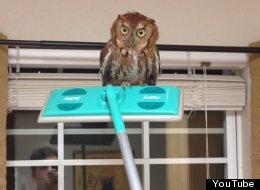 WATCH: How To Remove A Owl From Your House