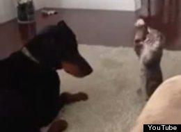 WATCH: Utterly Terrifying Kitten Vs Doberman Fight