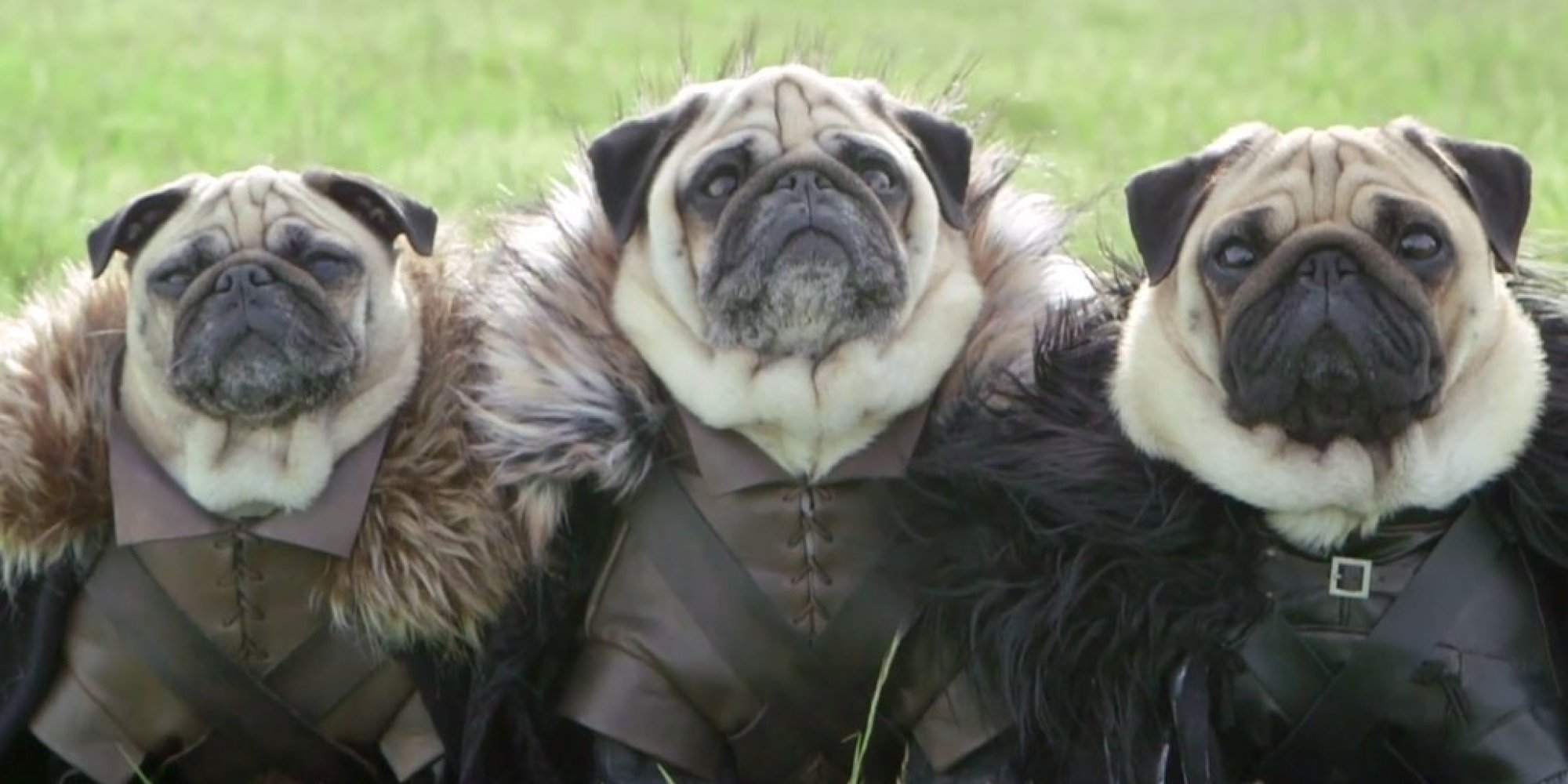 'Game Of Thrones' Pugs Slaughter Us With Cuteness Pug Game Of Thrones