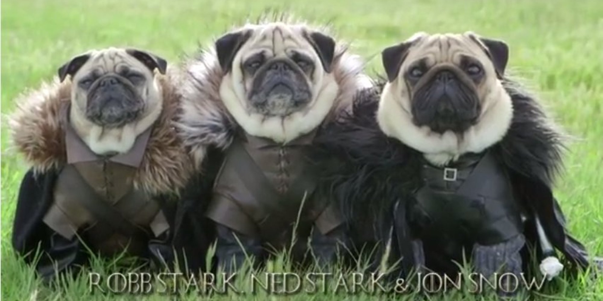 It's Game Of Thrones - Starring Pugs! (VIDEO) | HuffPost UK Pug Game Of Thrones