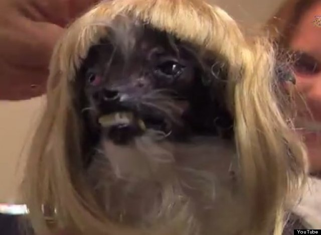 Watch The World S Ugliest Dog Get Primped And Pretty