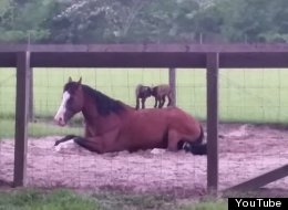 WATCH: Adorable Baby Goats Play On A Very Patient Horse