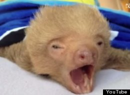 WATCH: Sweet, Sleepy Sloths Say Goodnight