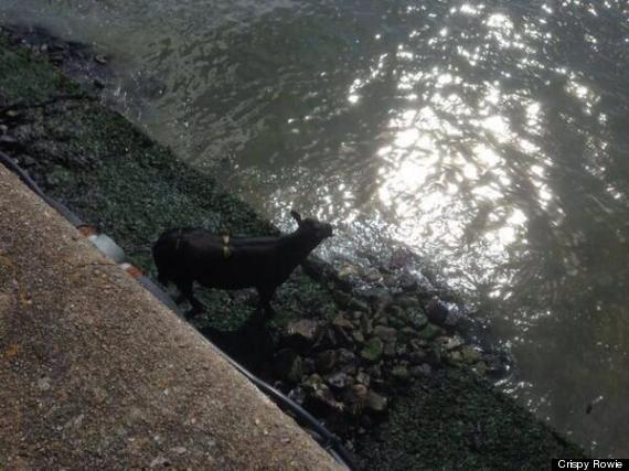aberdeen harbour cow