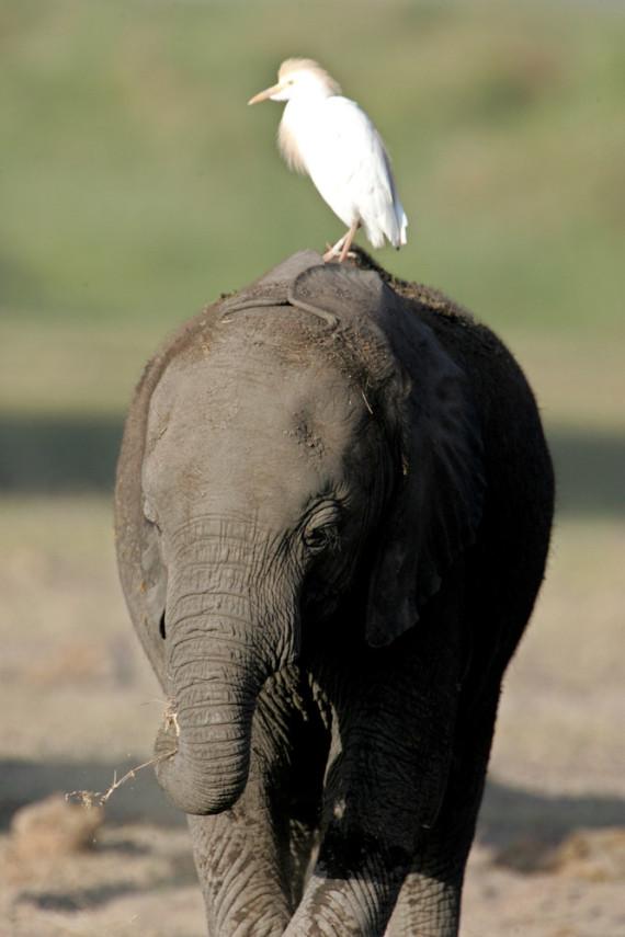 egret ellie