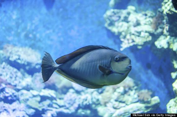 parrotfish caribbean reef