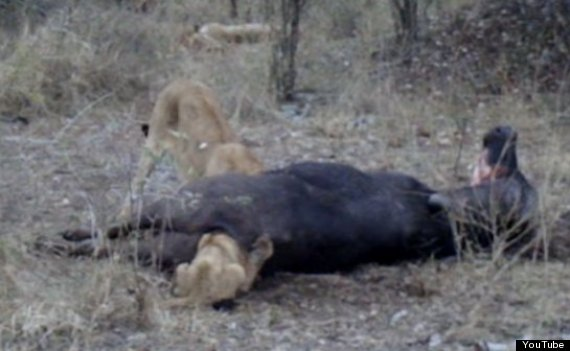lion with head in buffalo anus