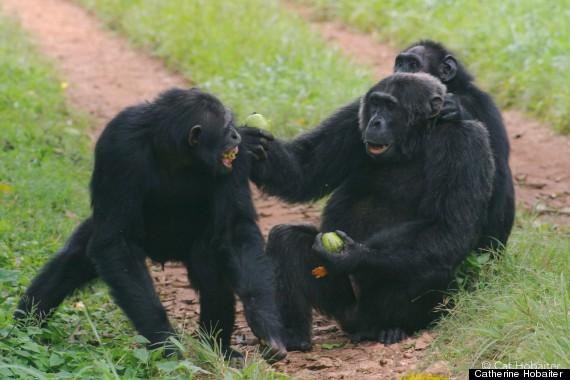 chimp sign language 4