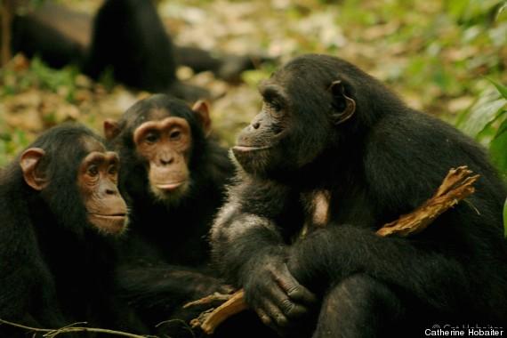 chimp gestures 5
