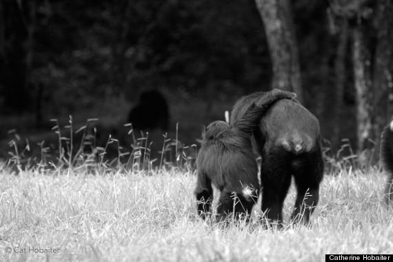 chimp gestures 2