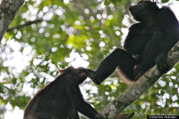 chimp gestures 1