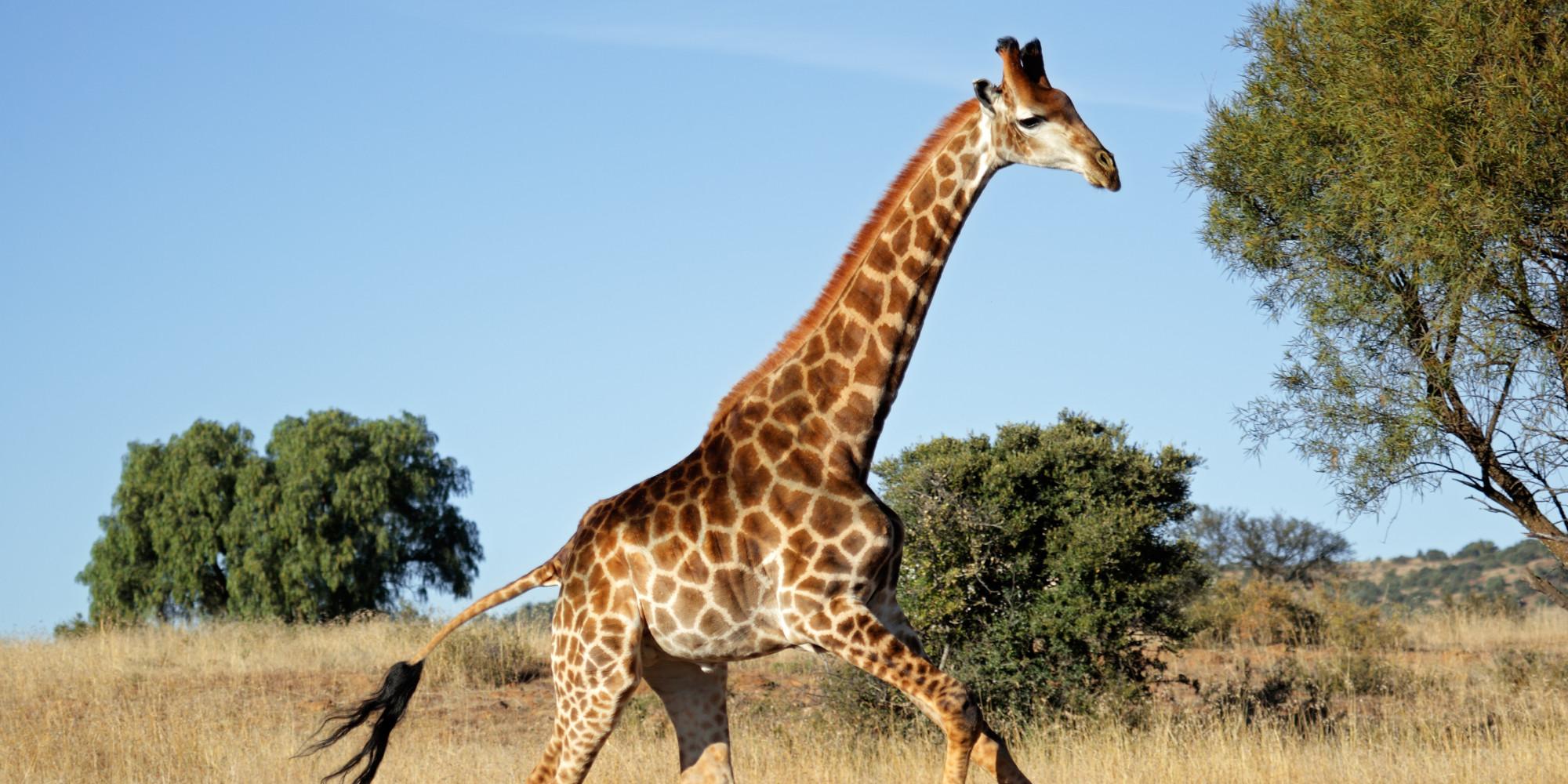 here u0026 39 s the anatomical secret that lets giraffes u0026 39  spindly