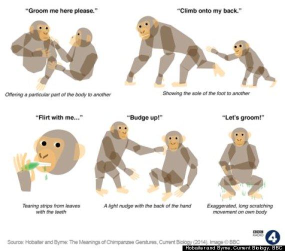 chimp gestures