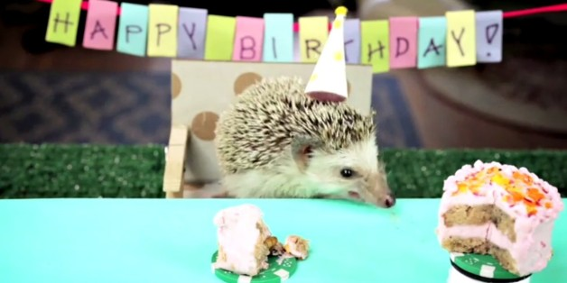 Tiny Birthday For A Tiny Hedgehog Is The Most Adorable