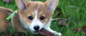 CORGI OUTSIDE