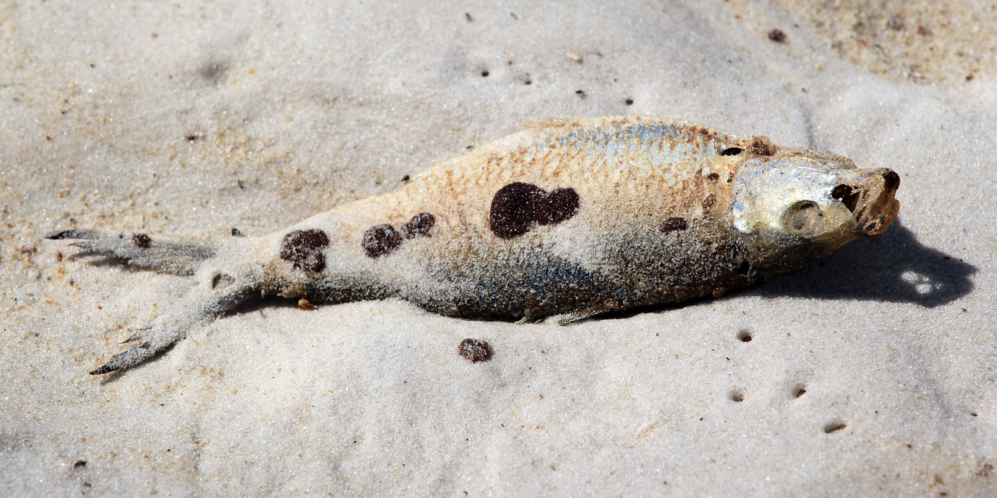 BP Oil Spill Caused Sickness In Fish, Researchers Find | HuffPost