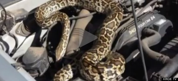 SNAKES ALIVE! Python Mysteriously Appears Under Hood Of Pickup Truck