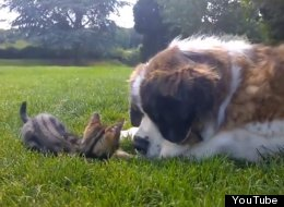 St. Bernard Is Simultaneously Baffled By, And In Love With, Her New Kitten Friend
