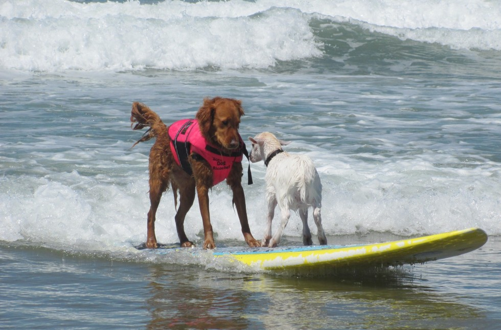 goat surfing