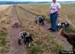 Warning: This Video Of Dogs In Wheelchairs Playing Fetch Might Make You Cry