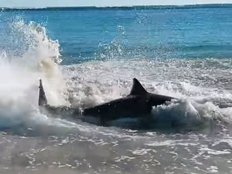 great white shark beach