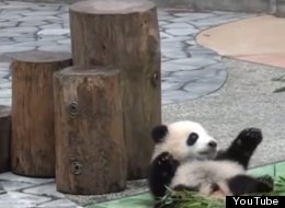 'Baby Pandas Falling Off Things' Is The Only Compilation Video You Need To Watch Today