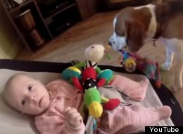 Beagle Steals Baby's Toy, Becomes Consumed With Guilt