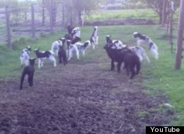 WATCH: Here's A Bunch Of Lambs Jumping For Joy