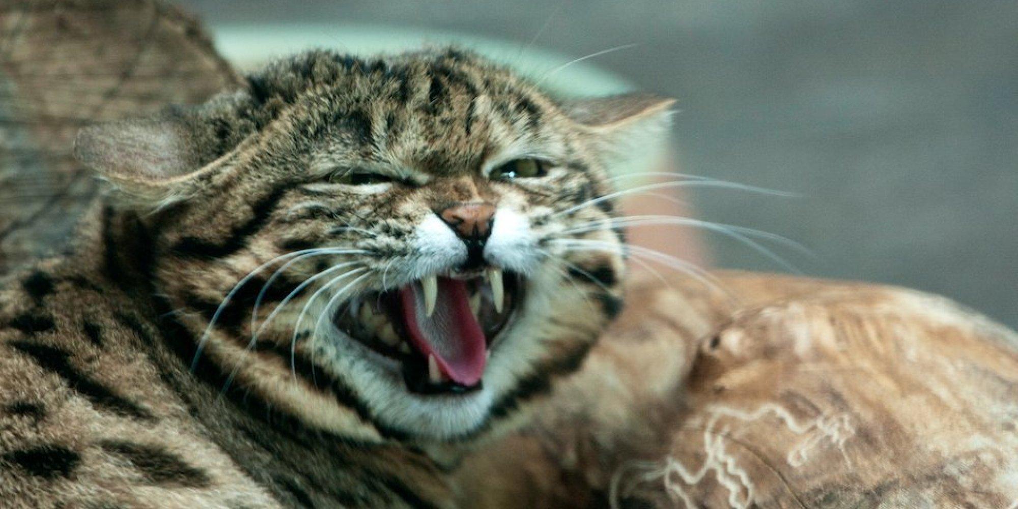Black Footed Cat Diet