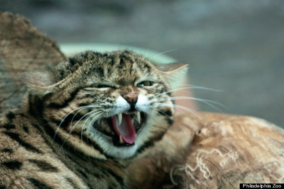 black footed cat 1