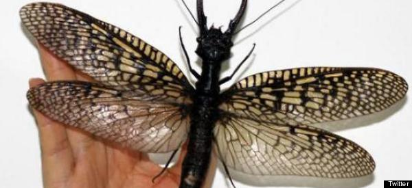 This May Be The World's Largest Aquatic Insect, And It Will Haunt Your Dreams