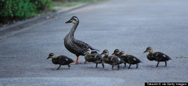Hero Gets Ticket After Stopping To Save Ducklings From Traffic